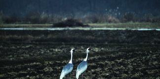 Two birds in the Korean DMZ