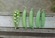 Five pea pods lined up on a wooden plant. The first pea pod from the left is split open, revealing eight peas.
